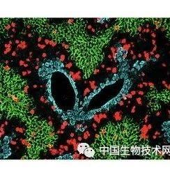 """Science突破!周斌研究组开发捕捉细胞增殖的""""录像机""""  首次实现活体检测细胞增殖"""